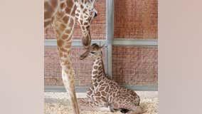 Dallas Zoo giraffe gives birth on July 4th