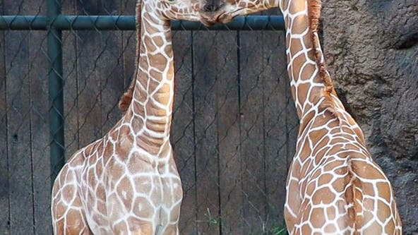 Fort Worth Zoo welcomes 2 more baby giraffes
