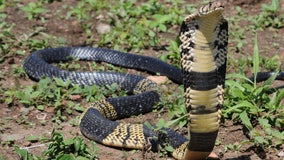 Still no sightings reported as search continues for venomous cobra missing in Grand Prairie
