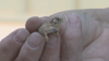 Fort Worth Zoo to release 200-plus Texas horned lizards into wild