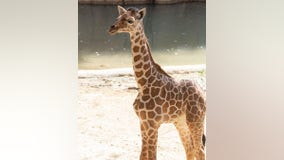 Dallas Zoo euthanizes 3-month-old giraffe after 'catastrophic injury'