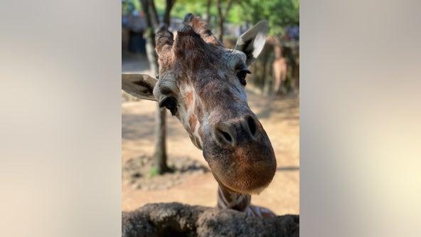 Dallas Zoo mourning 19-year-old giraffe's death