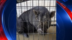 Pig found behind Georgia store gets new home