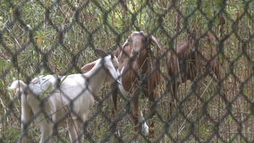 Goat landscaping team gets to work at Agnes Scott College