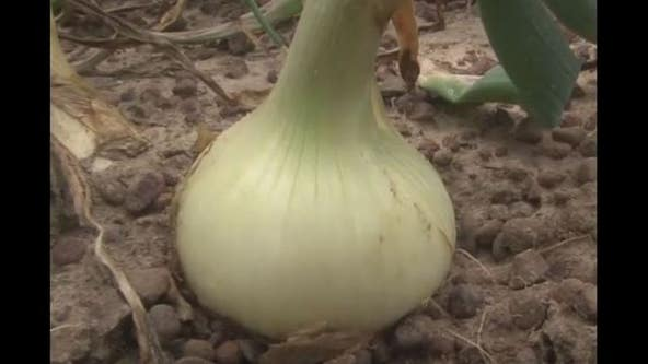 Farmer: Vidalia onions could be smaller, a bit pricier