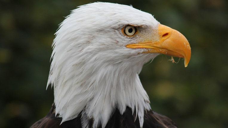 Bald Eagle_1499804698870-401720.jpg