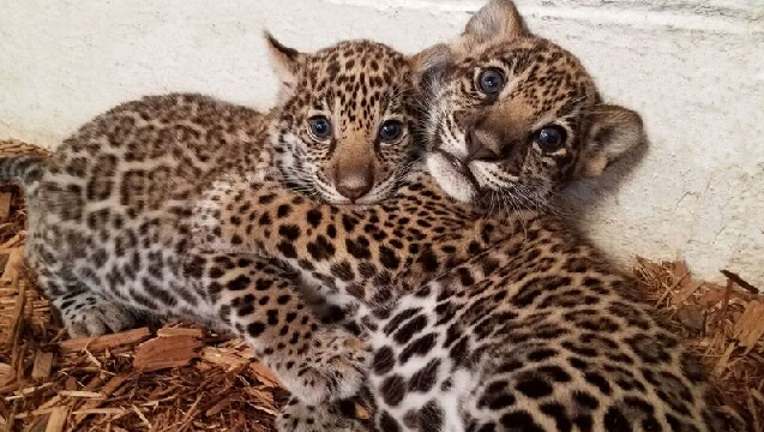 Elmwood Park Zoo jaguar cubs_1488986284031-401096.png