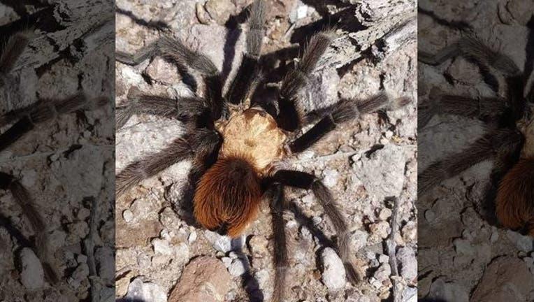 FOX tarantula 110218_1541185696460.jpg-408200.jpg