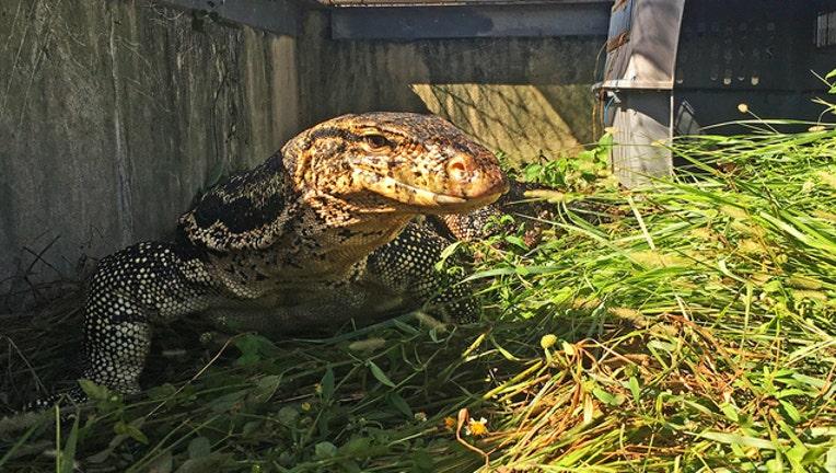 ad11e8c0-FWC-Asian water monitor lizard_1541718439320.jpg-402429.jpg