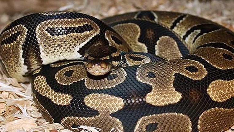 FWC-ball-python_1559083007136-402429.jpg