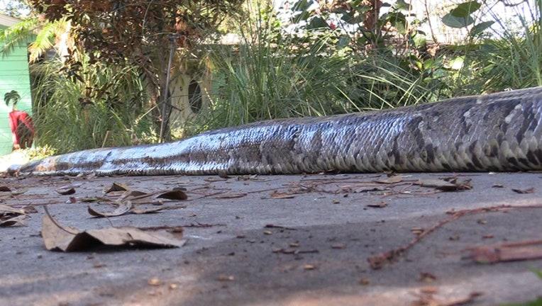 Florida-record-python_1545179091632-402429.jpg