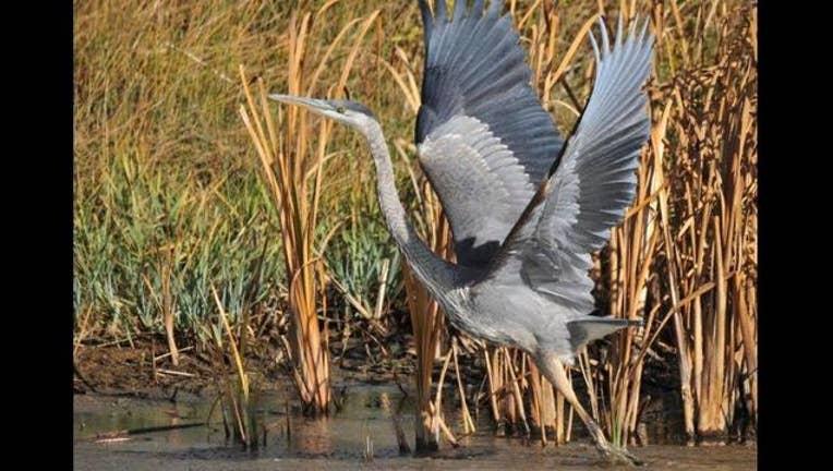 6a0bbf87-Great Blue Heron rising_PHOTO COURTESY US FISH AND WILDLIFE SERVICE -TOM KOERNER_1461171504043.jpg