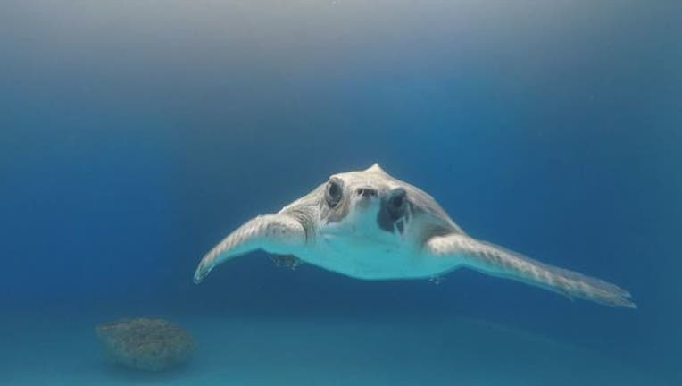 Sea_turtle_survives_after_ingesting_ball_0_20180712124239-401385