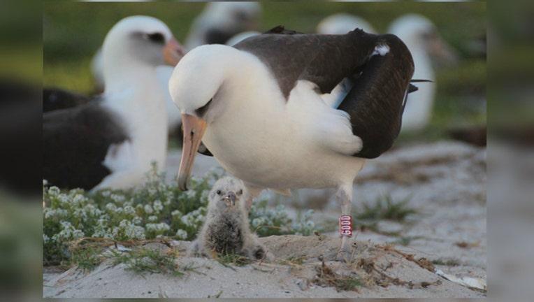 Wisdom the Albatross photo courtesy USFWS-404023
