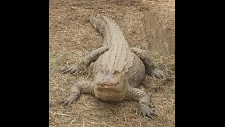 alligator_1461622188293-402970.jpg