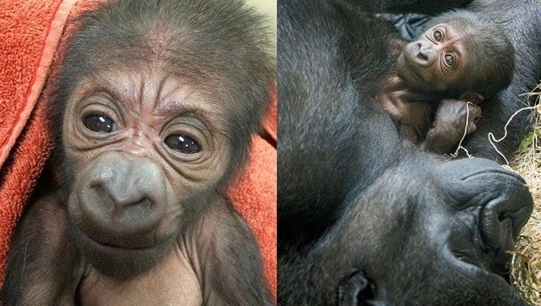 Philly Zoo Baby Gorilla_1496772662431-401096.jpg