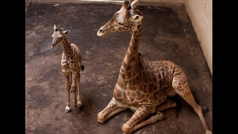 42f7723c-baby giraffe_1459736063943-407068.jpg