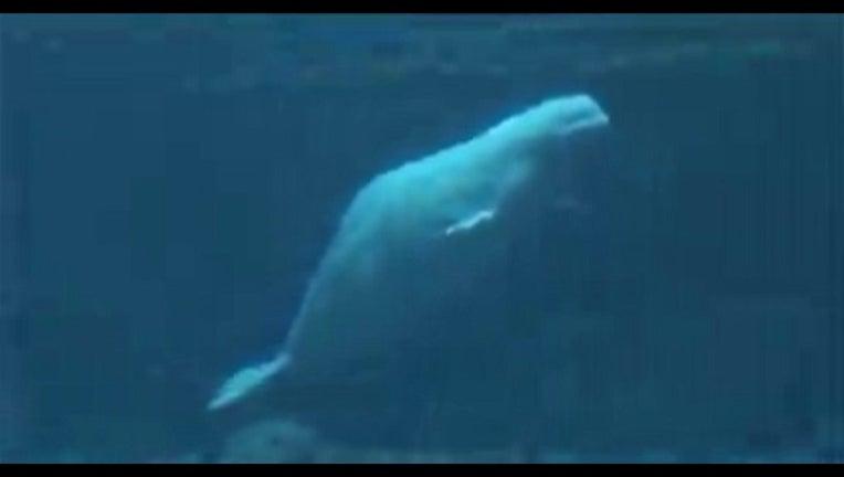 beluga whale_1443471662532.jpg