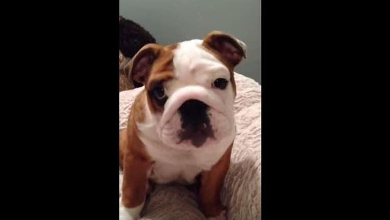 bulldog-puppy-404023