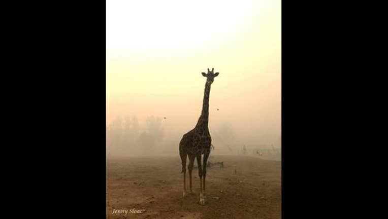 2caeb1dd-giraffe_1507752516299-405538.jpg
