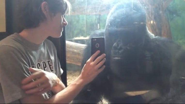 78bad37e-gorilla copywrite restrictions can only use for this story_1442002751789.jpg