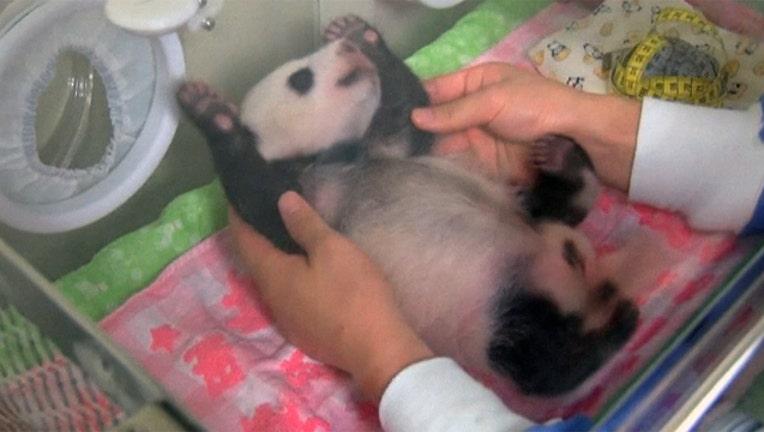 bcd06bcf-japan-baby-panda_1501031021490-402429.jpg