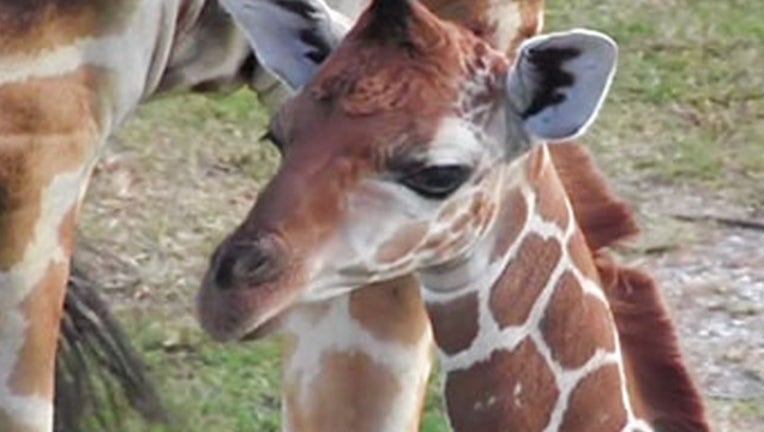 lion country safari_press room giraffe jioni_061119_1560275465143.png-402429.jpg