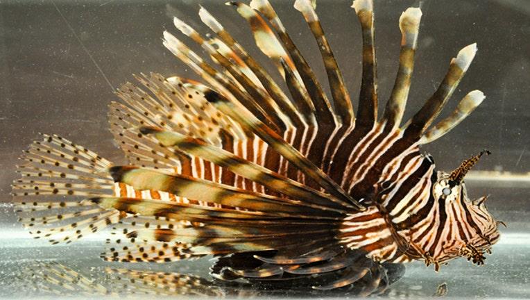 lionfish_1460673011321-401385.jpg