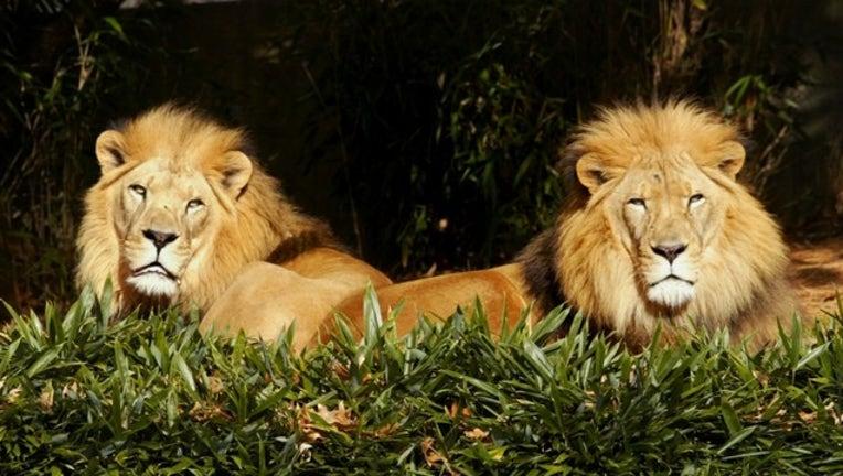 2a1f68bc-lions_1561387358745.jpg