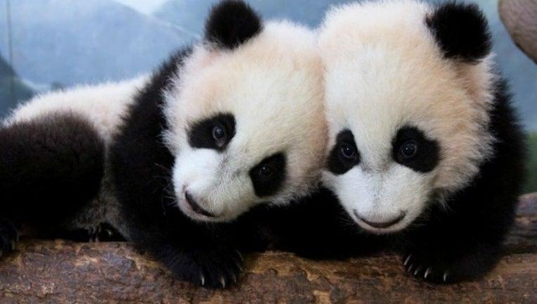 2c0cba3f-panda cubs_1489072999647.jpg