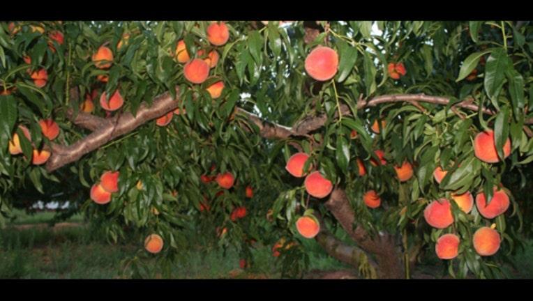 peaches-in-tree3_1459363520537.jpg