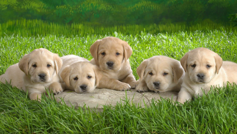 puppies_1487354178120-404023.png