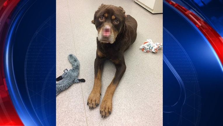 rottweiler with nose, ears cut off_1484775093218-65880.jpg
