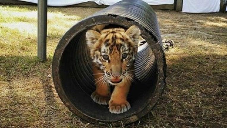 tiger_1463433570206.jpg