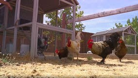 Woman saves chickens with backyard sanctuary