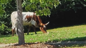 Big bovine fears in Walton County neighborhood as Halloween approaches