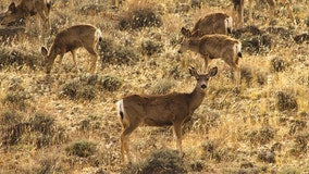 Nevada warns hunters of 'zombie' deer disease affecting herds in 24 other states