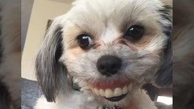 Dog steals owner's dentures, gets hilarious new smile