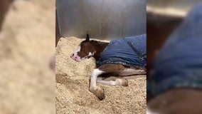 Sleepy police horse hates getting up on cold mornings: 'I know you can hear me'