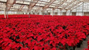 Poinsettias brighten the season at Pike Nurseries