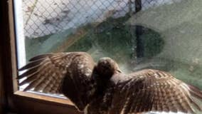 Hawk smashes its way into a Cobb County home and stays for awhile