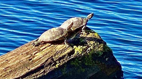 Turtles found in Washington park with swastikas painted on their shells