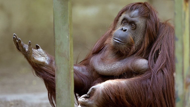 Sandra, a 29-year-old orangutan, is pictured at Buenos Aires' zoo, on December 22, 2014. Sandra got cleared to leave a Buenos Aires zoo she has called home for 20 years, after a court ruled she was entitled to more desirable living conditions. (JUAN MABROMATA/AFP via Getty Images)