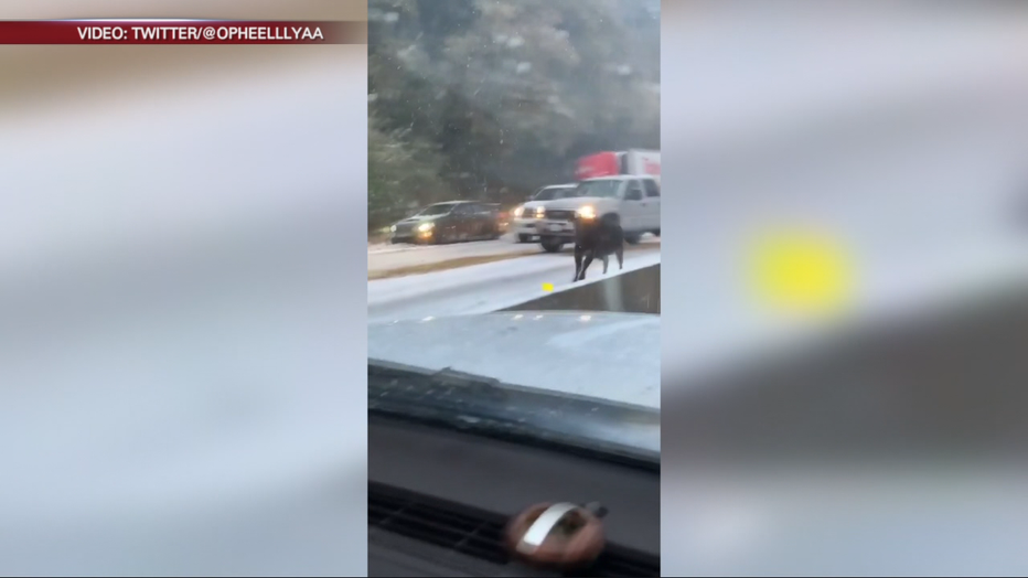 A cattle truck overturned on Highway 50 in El Dorado, County. Nov. 27, 2019