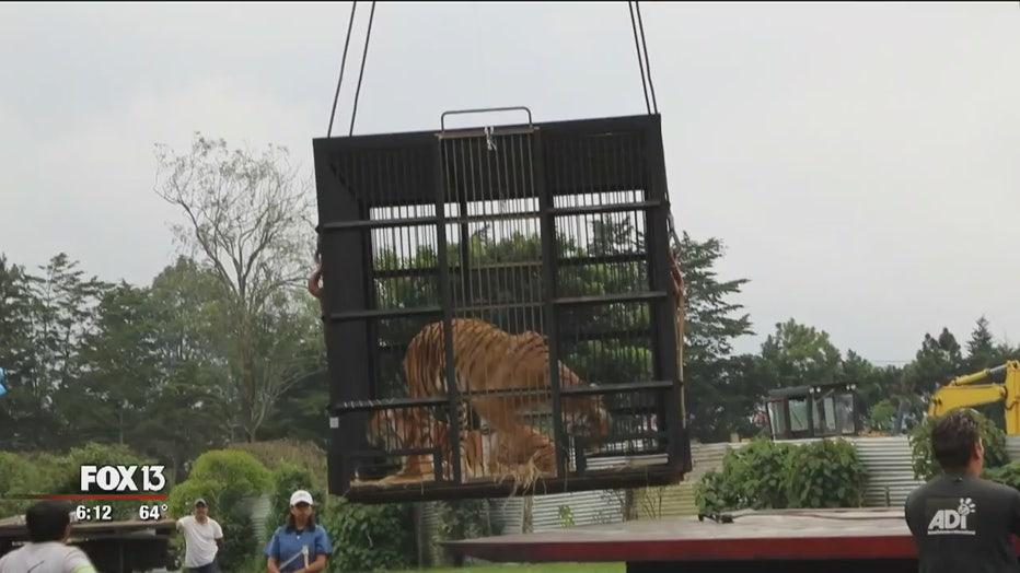 guatemala-cats-to-big-cat-rescue.jpg