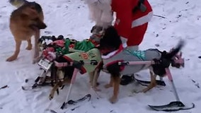 Adorable dogs with special needs play in snow during holiday season