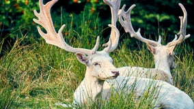 Missouri hunter bags rare albino deer on last day of hunting season: 'All glory goes to God in this'
