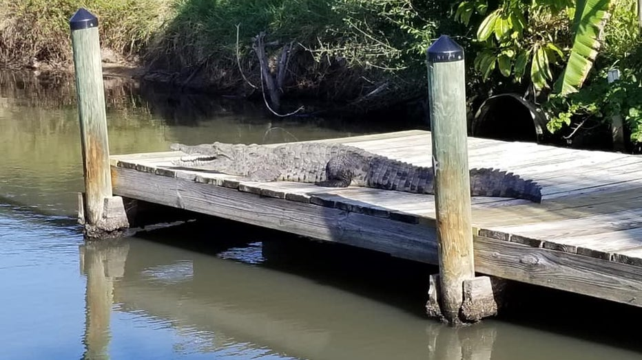 A crocodile spotted in Satellite Beach. Courtesy: Peter Campbell