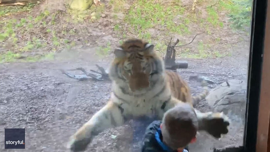 A seven-year-old named Sean might have become the lunch of a hungry Siberian tiger.