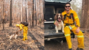 Koala-sniffing dog aids in 15 wildlife rescues as Australian bushfires ravage habitats
